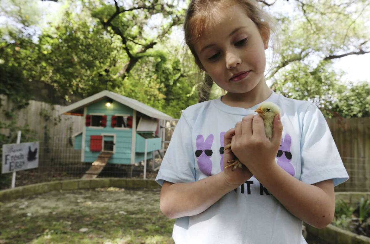 Emma Foster holds a chick in her hands near a chicken coop that her parents, Samantha and Jonathan Foster, built for their backyard chickens as The Food Policy Council of San Antonio sponsors their first self-guided tour of a dozen chicken coops within the city limits, called the San Antonio Chicken Walk on Saturday, Apr. 14, 2018. Organizers said there are a variety of different coops on the tour, ranging from a structure made of plain planks of wood to an ornate cottage with a front porch and white picket fence. (Kin Man Hui/San Antonio Express-News)