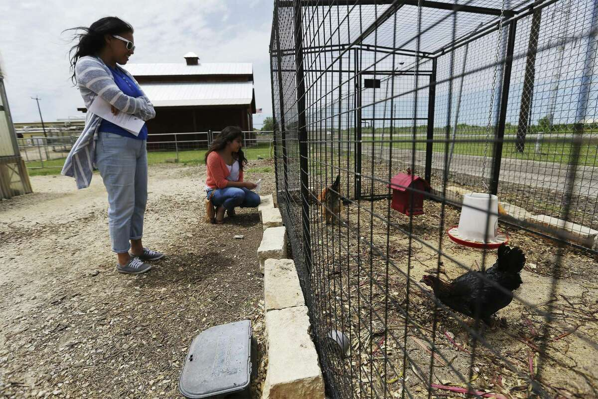 Science teacher Rubi de Hoyos and her daughter Marina have a look at the chickens and their coop at the San Antonio Food Bank as The Food Policy Council of San Antonio sponsors their first self-guided tour of a dozen chicken coops within the city limits, called the San Antonio Chicken Walk on Saturday, Apr. 14, 2018. The teacher said her school, Jim G. Martin Elementary, will be raising their own chickens by next week and wanted to get some more ideas for raising chickens by going on the tour. Organizers said there are a variety of different coops on the tour, ranging from a structure made of plain planks of wood to an ornate cottage with a front porch and white picket fence. (Kin Man Hui/San Antonio Express-News)