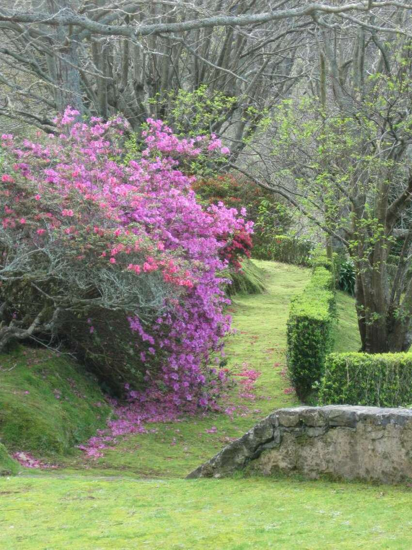 A wall of blooming azaleas along a path is among the garden treasures of the Ch?Porta Formosa tea plantation at Porto Formosa on the rugged north shore of the Azores. (K.D. NORRIS)