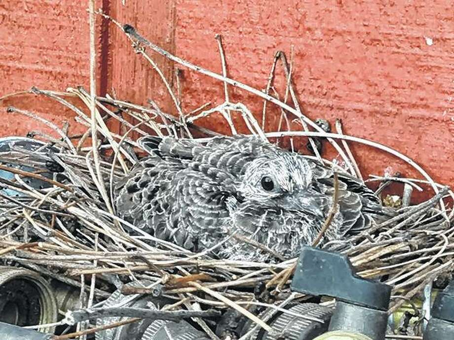 A baby mourning dove rests in a nest its mother built in a hose-winder shelf.