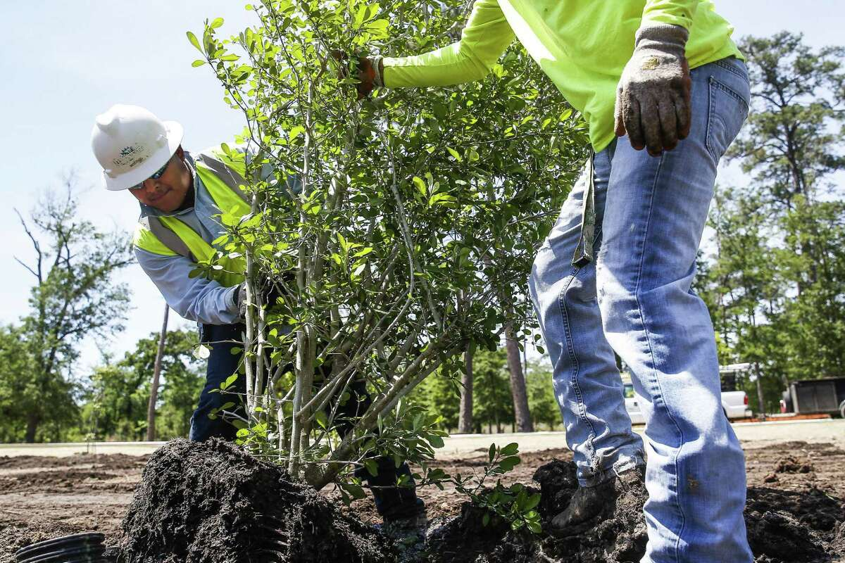 """Landscape Art Inc. tech hand Marco Atrisco, left, an H-2B visa recipient from Mexico, works with tech hand Andrew Woodson, right, an American, to plant trees in the eastern glades of Memorial Park Wednesday, April 11, 2018 in Houston. Landscape Art, which uses about 40 H-2B visas to fill positions almost had their workforce cut in in half when they didn't get visas the first time they applied for them this year. """"If we didn't get the H-2B visits, it means we would have to lay off American workers,"""" Landscape Art Inc. vice president Jay Williams said. """"If my workforce has gone from 80 to 40 it means I have to cut back on managers for that workforce."""" (Michael Ciaglo / Houston Chronicle)"""