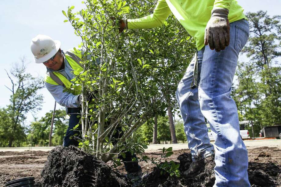 New trees are planted in the Eastern Glades of Memorial Park in April 2018. Photo: Michael Ciaglo, Houston Chronicle / Houston Chronicle / Michael Ciaglo
