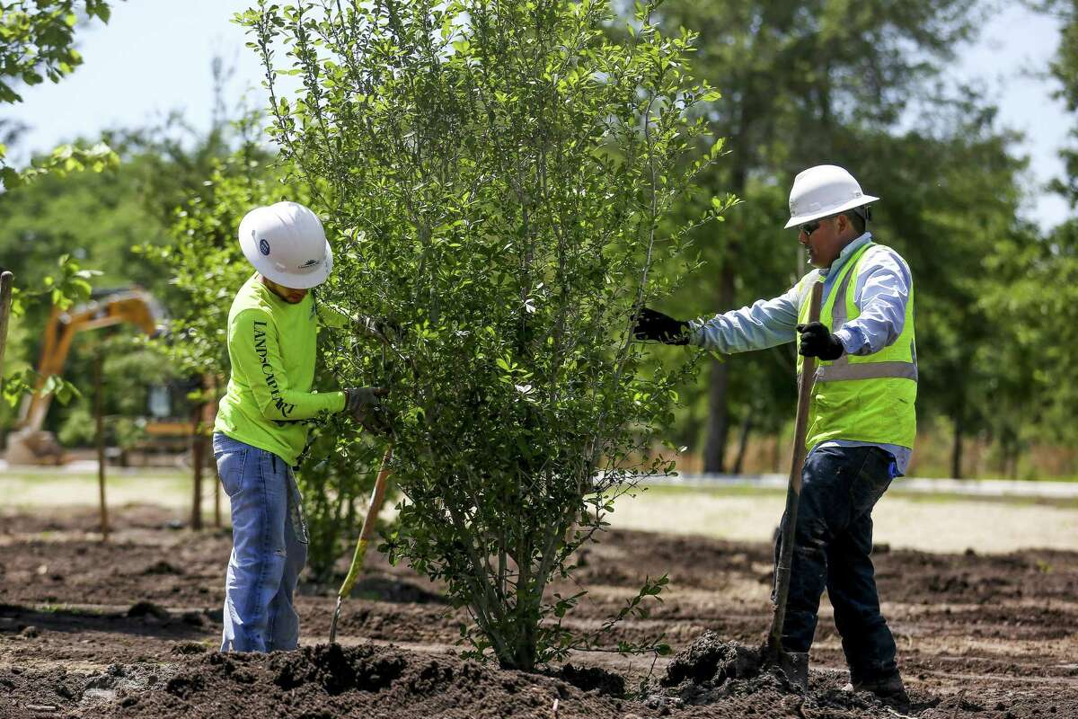 """Landscape Art Inc. tech hand Marco Atrisco, right, an H-2B visa recipient from Mexico, works with tech hand Andrew Woodson, left, an American, to plant trees in the eastern glades of Memorial Park Wednesday, April 11, 2018 in Houston. Landscape Art, which uses about 40 H-2B visas to fill positions almost had their workforce cut in in half when they didn't get visas the first time they applied for them this year. """"If we didn't get the H-2B visits, it means we would have to lay off American workers,"""" Landscape Art Inc. vice president Jay Williams said. """"If my workforce has gone from 80 to 40 it means I have to cut back on managers for that workforce."""" (Michael Ciaglo / Houston Chronicle)"""