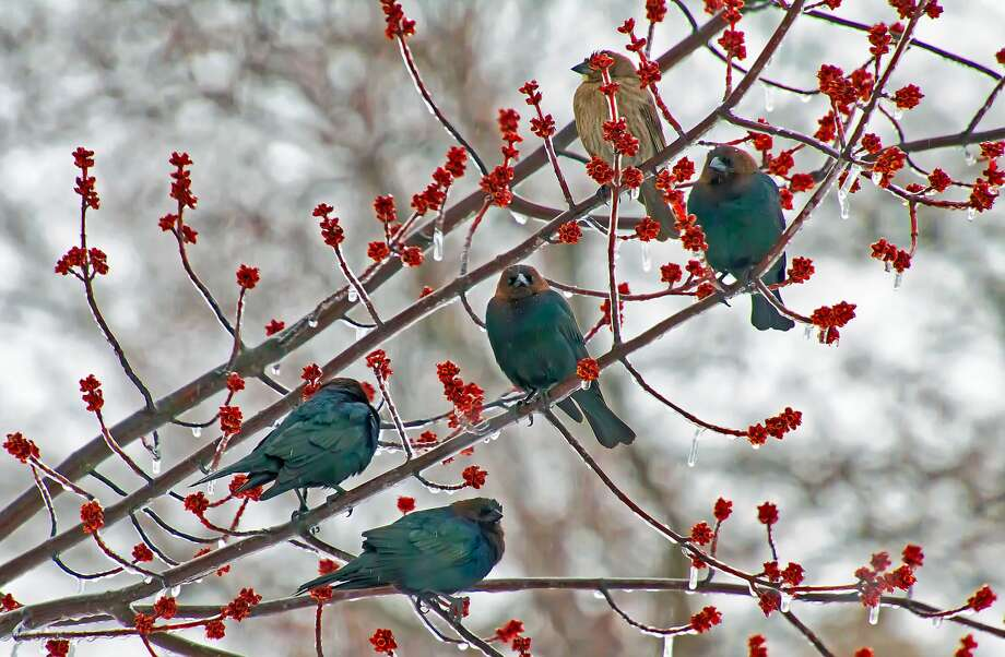 Cowbirds perch on ice-covered branches in a tree at a residence in Caseville during a recent ice and snow storm. Photo: Bill Diller/For The Tribune