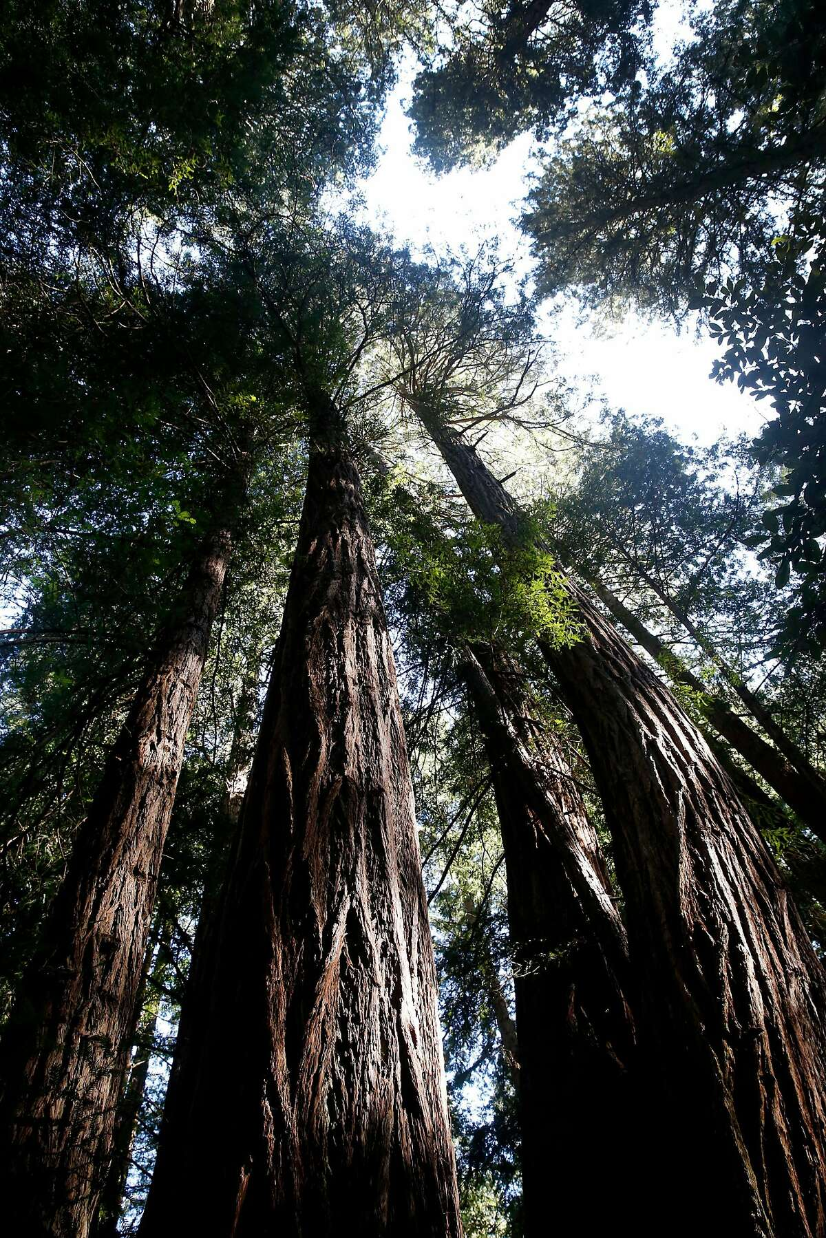 Old growth coast redwoods tower above the ground at Muir Woods National Monument in Mill Valley, Calif. on Tuesday, April 17, 2018. The Save the Redwoods League has released its first ever State of Redwoods Conservation Report.
