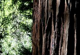 A coast redwood tree at Muir Woods National Monument in Mill Valley, Calif. on Tuesday, April 17, 2018. The Save the Redwoods League has released its first ever State of Redwoods Conservation Report.