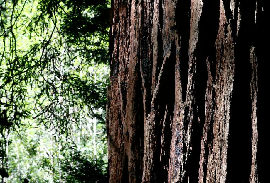A coast redwood tree at Muir Woods National Monument in Mill Valley. Photo: Paul Chinn / The Chronicle