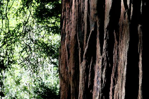 Muir Woods Scarred Trees Reveal History Of Wildfires Sfchronicle Com