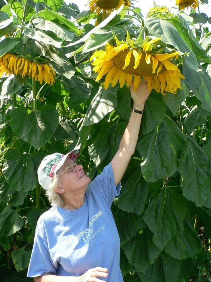 Sherman's Naromi President Marge Josephson was recently awarded the Katchen Coley Award for Excellence in Land Conservation at the Connecticut Land Conservation Council Conference in Middletown. Josephson is shown above at Babbling Brook Farm with sunflowers. Photo: Courtesy Of Hunter Brawley / The News-Times Contributed