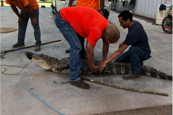 Deputies with the Harris County Constable's Office Precinct 4 relocated an aggressive alligator in the 17300 block of West Lake Houston in Atascocita, Texas on April 17, 2018.
