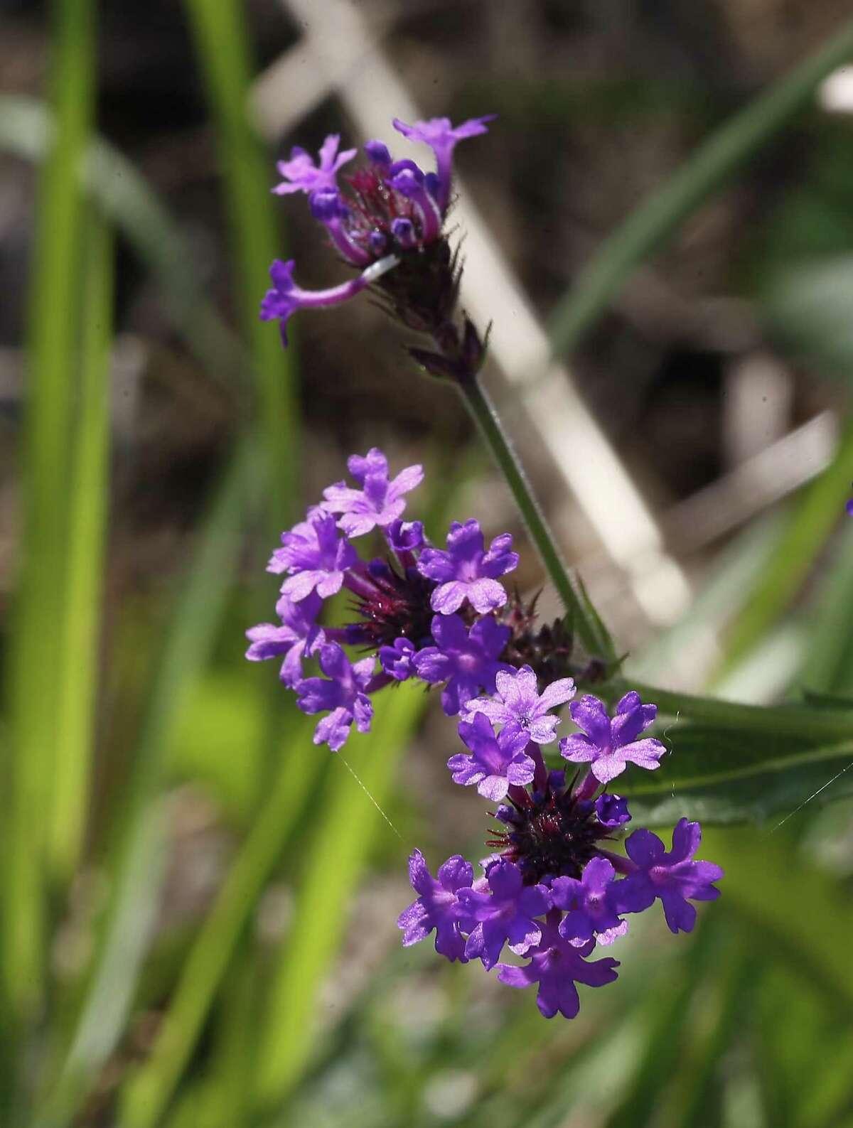 A native verbena grows along a path at the arboretum.
