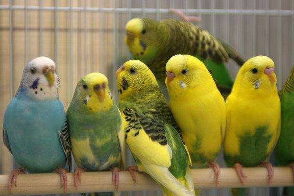 Agents often advise that parakeets and other birds should go while a house is on the market.