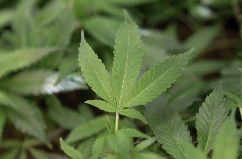 Medical marijuana clone plants at a medical marijuana dispensary. Photo: Jeff Chiu / Associated Press / AP