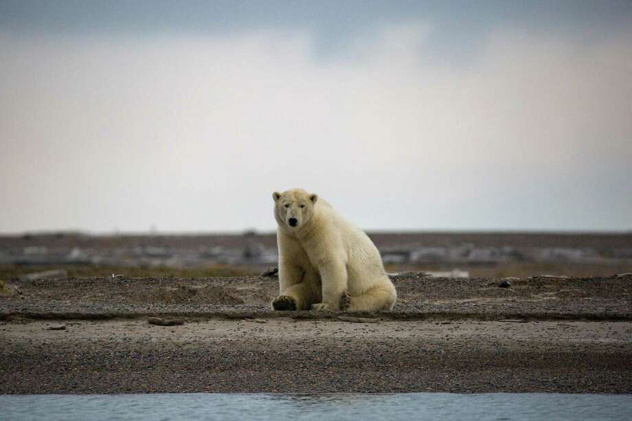 Climate change is real and is happening now. Despite overwhelming scientific evidence that the Arctic is warming twice as fast as the rest of the planet, climate denialists still exist. Here a polar bear searches for ice near Kaktovik, Alaska. Photo: JOSH HANER /NYT / NYTNS
