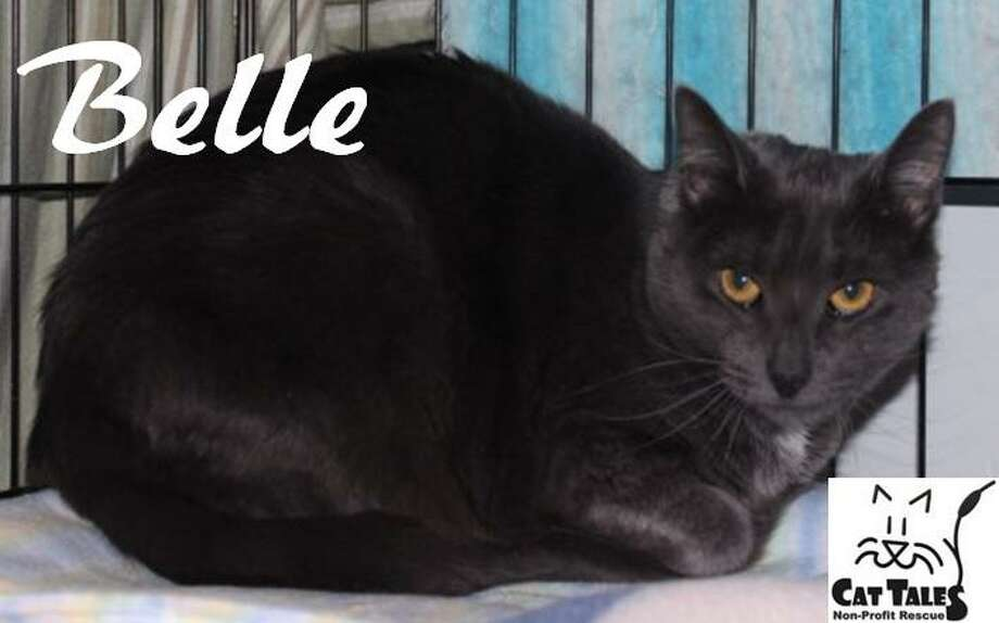 "This pretty gray and white, 1-year-old kitty, Belle, is waiting for her new home. She says, ""I'm a quiet and mellow kitty most of the time, but I also love to play. I especially enjoy chasing wand toys. I am affectionate and seek attention from the people I know, but I tend to be a bit shy with strangers. I've just started to come out of my shell and love to be petted. I would love a home with someone who has a very outgoing, affectionate cat that can be my buddy. I will take a some time to adjust and will need to be kept in a small room until I am comfortable. I am keeping my paws crossed that a very patient and understanding person will adopt me soon."" Visit http://www.CatTalesCT.org/cats/Belle, call 860-344-9043, or email: info@CatTalesCT.org. Watch our TV commercial at  https://youtu.be/Y1MECIS4mIc? Photo: Contributed Photo/Cat Tales"