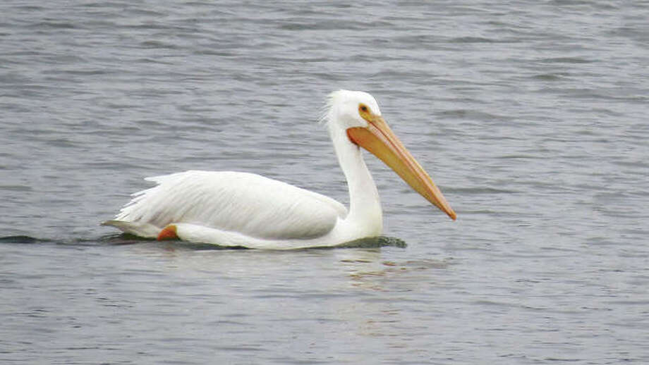 An American pelican glides along the water at Lake Springfield.