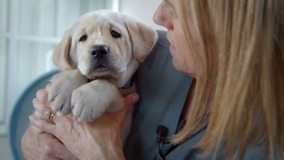 "Labrador Phil is one of five pups training to be a guide dog in ""Pick of the Litter,"" a highlight of the Doclands Documentary Film Festival. Photo: Sundance Selects"