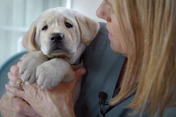 Labrador Phil is one of five pups training to be a guide dog in �Pick of the Litter,� a highlight of the Doclands Documentary Film Festival.�CAPTION:Sundance Selects