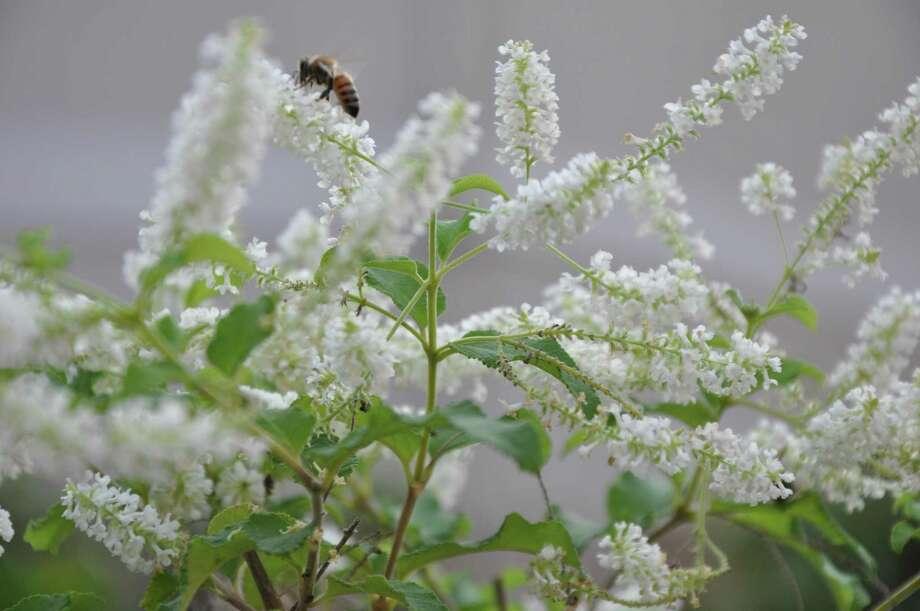 The sweet scent of almond verbena attracts pollinators. Photo: Melissa Ward Aguilar / Melissa Ward Aguilar