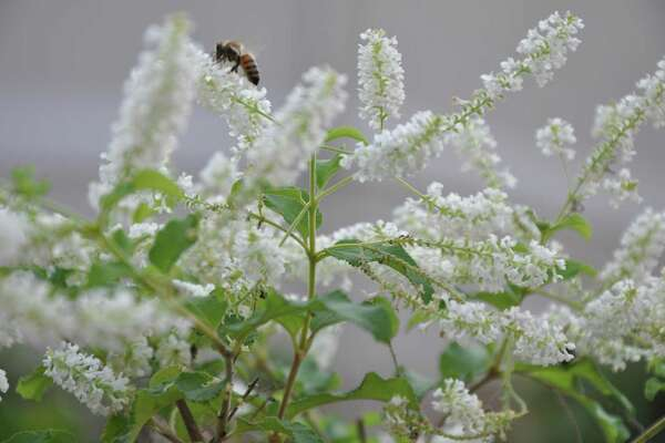 1of 9The Sweet Scent Of Almond Verbena Attracts Pollinators.Photo: Melissa  Ward Aguilar / Melissa Ward Aguilar