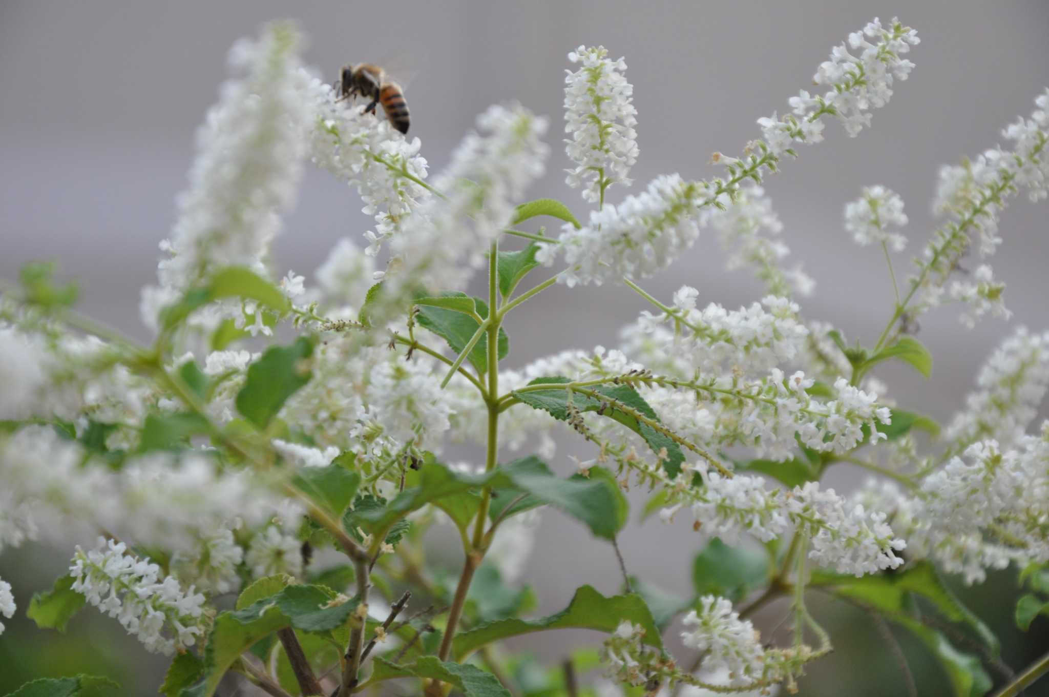9 Fragrant Shrubs For Houston Gardens Houstonchronicle