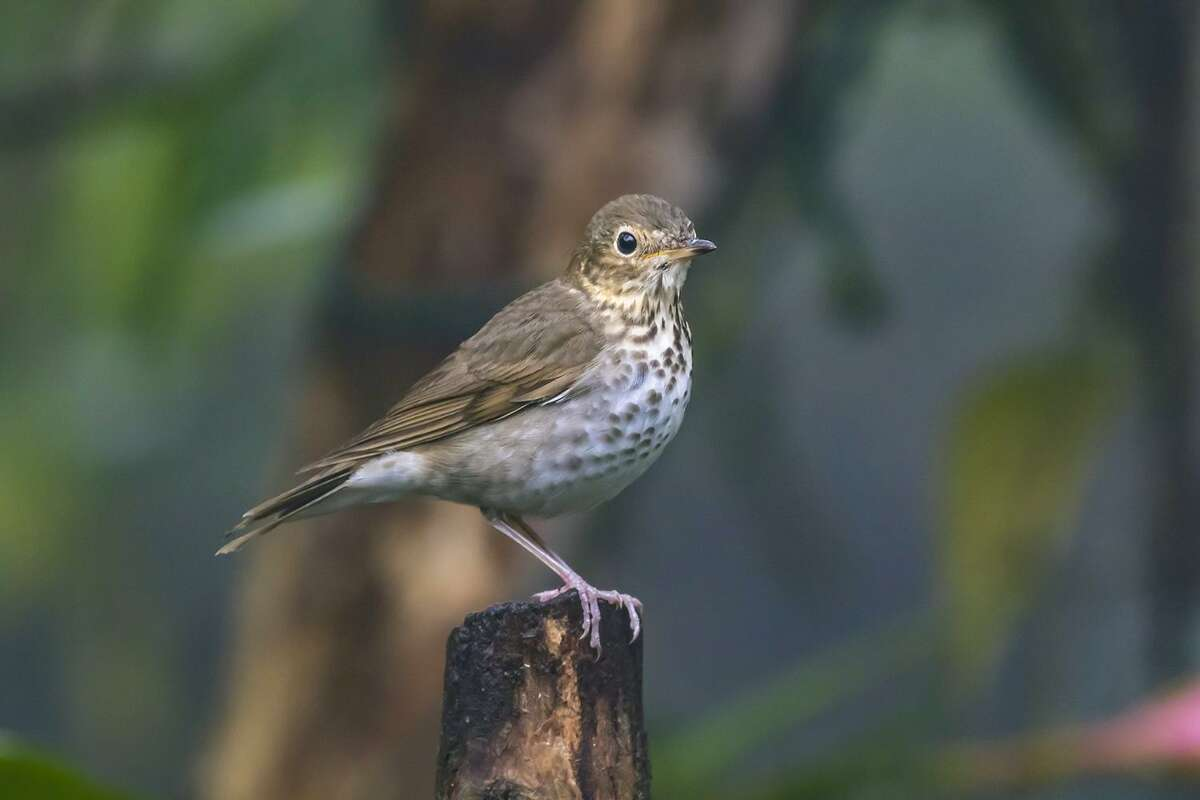Swainson's thrushes are moving through Texas on their annual migration to breeding grounds in the north. Many began their journey on wintering grounds in South America.