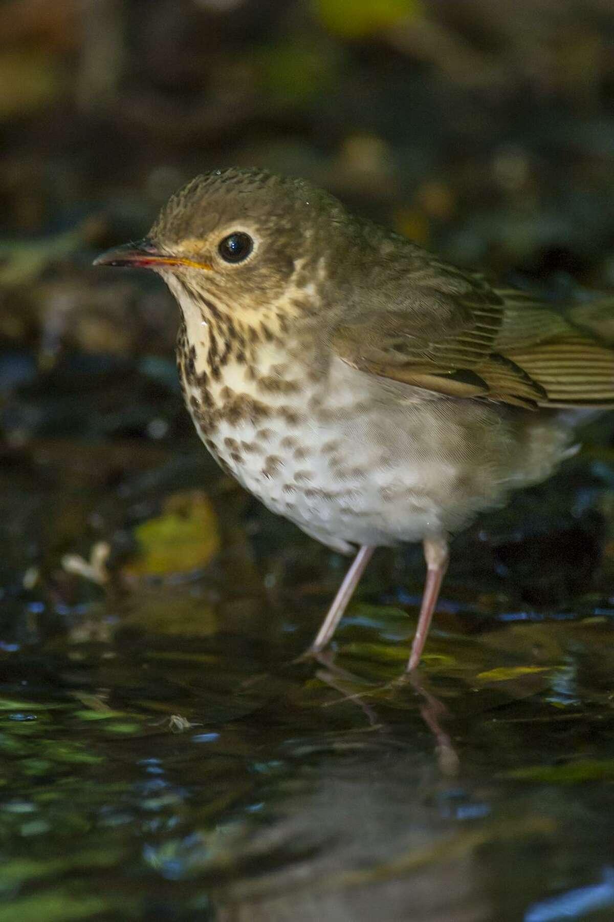 A Swainson's thrush takes a bath at the Houston Audubon Society's High island bird sanctuary.