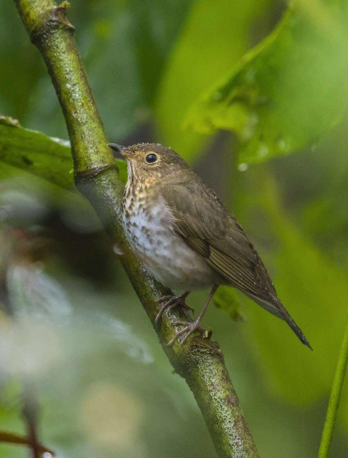 A Swainson's thrush perches under a leaf during a rain shower in the Mindo Valley of Ecuador. The birds migrate through Texas on their way to breeding grounds in the north.