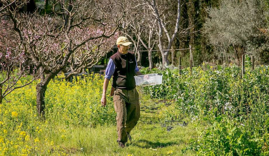 Farmer Peter Jacobsen picks edible flowers in his garden in Yountville, Calif. on March 17th, 2018. Photo: John Storey, Special To The Chronicle