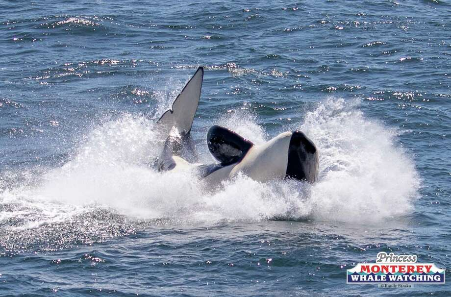 Boats of whale watchers looked on as a pod of seven killer whales attacked, killed and fed on a gray whale calf on Tuesday, April 17, 2018. Photo: Princess Monterey Whale Watching