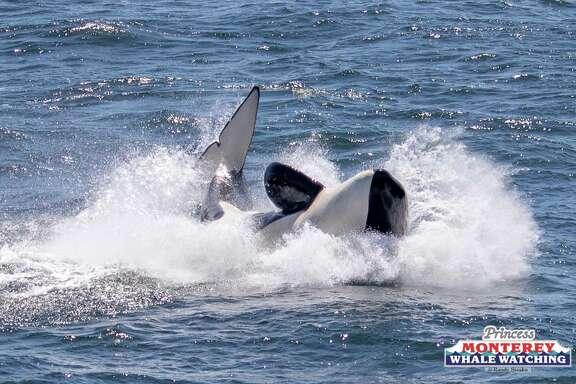 Boats of whale watchers looked on as a pod of seven killer whales attacked, killed and fed on a gray whale calf on Tuesday, April 17, 2018.