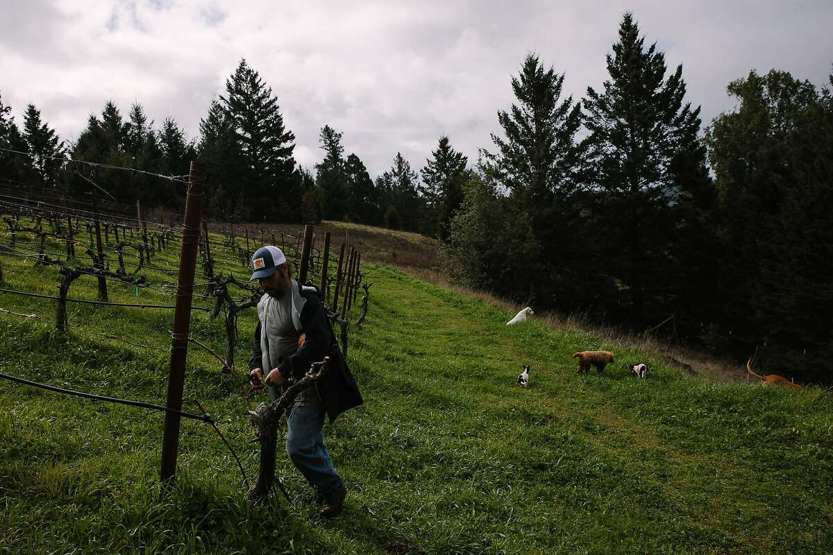Jes�s Velasquez trims back the vines at his vineyard, Waterhorse Ridge Vineyard, in Cazadero, Calif., Friday, March 23, 2018.