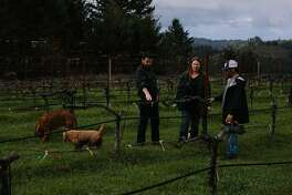 John Lockwood, winemaker, talks to Jes�s Velasquez and Patricia Greer about the vines at Waterhorse Ridge Vineyard in Cazadero, Calif., Friday, March 23, 2018.