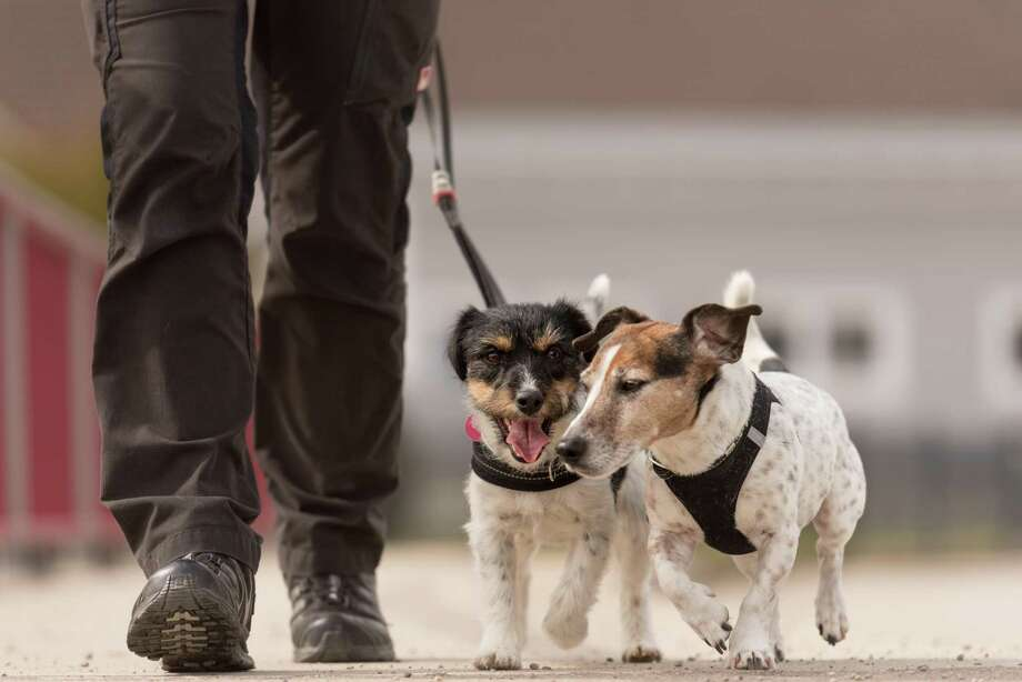 A survey revealed that 57 percent of dog owners skip dog walks because of work or exhaustion, leaving 71 percent of women and 59 percent of men feeling guilty about it. Photo: K_Thalhofer /Getty Images / IStockphoto / This content is subject to copyright.