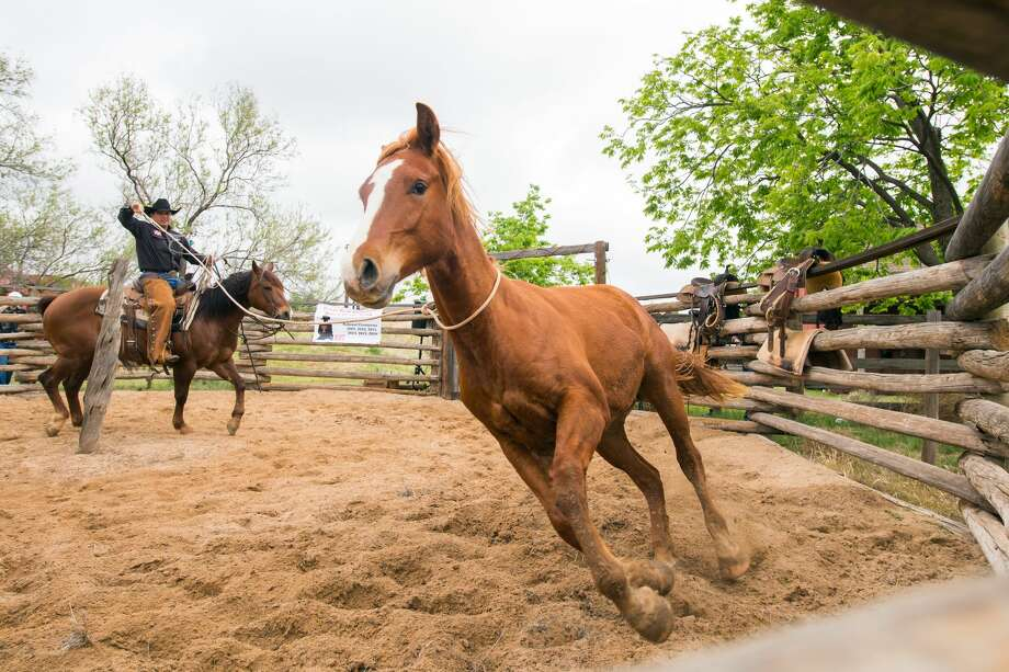 Ranch Day activities at the National Ranching Heritage Center will include the Texas Tech Ranch Horse Team using the round pen to break colts that have never been ridden. Photo: Courtesy Photo