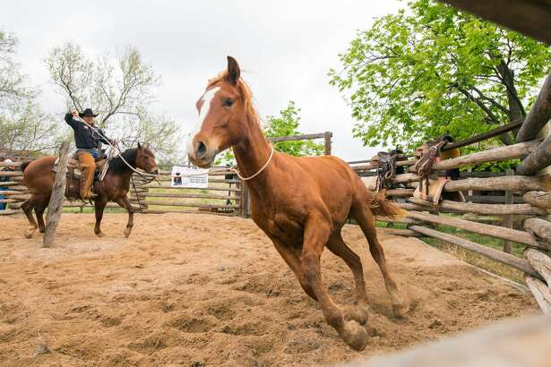 Dom – Ranch Day activities at the National Ranching Heritage Center will include the Texas Tech Ranch Horse Team using the round pen to break colts that have never been ridden.