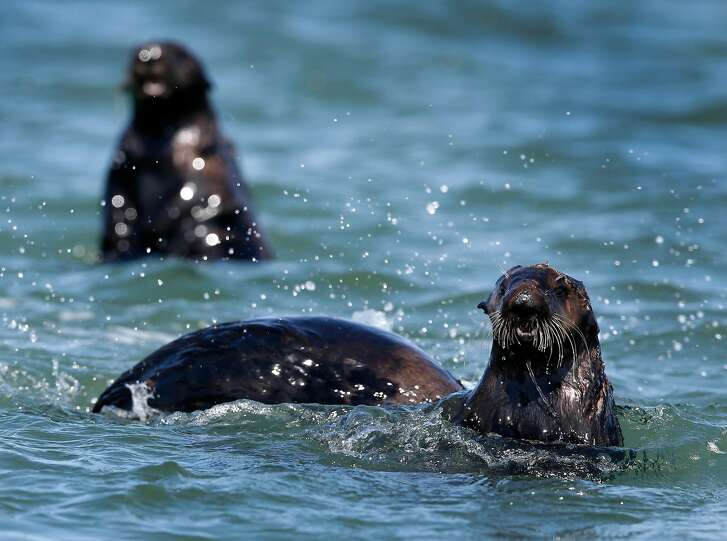 Sea otters gather at Elkhorn Slough in Moss Landing, Calif. on Thursday, April 12, 2018. Marine biologists from the Monterey Bay Aquarium have observed that sea otters rehabilitated and released into Elkhorn Slough has helped restore eel grass beds and the ecosystem.