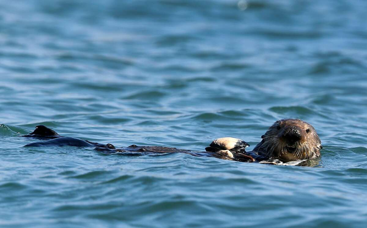 A sea otter prepares to eat shellfish at Elkhorn Slough in Moss Landing, Calif. on Thursday, April 12, 2018. Marine biologists from the Monterey Bay Aquarium have observed that sea otters rehabilitated and released into Elkhorn Slough has helped restore eel grass beds and the ecosystem.