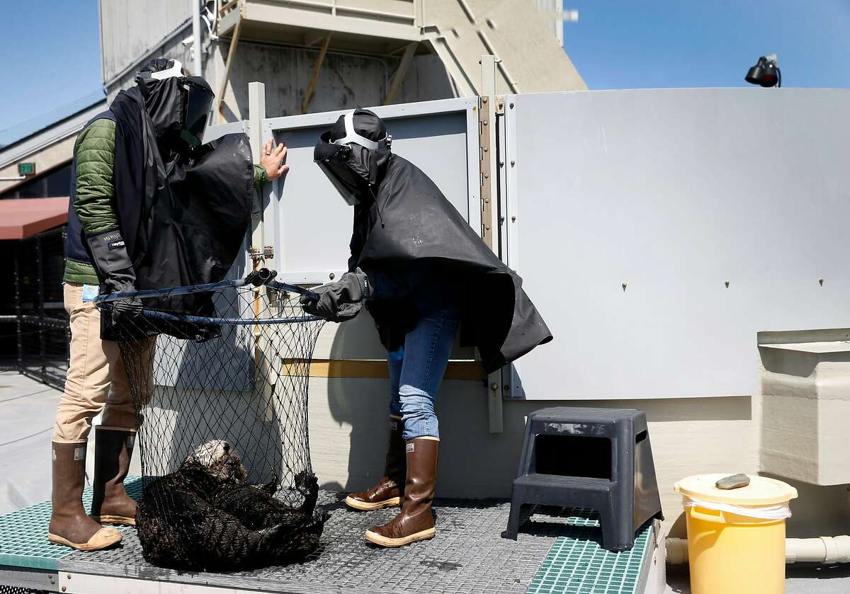 Karl Mayer (left), animal care coordinator for the Monterey Bay Aquarium sea otter program, wears a black poncho and welder�s mask with Allie Bondi (right) to prevent sea otter pups from imprinting on humans while they interact with the pups at the aquarium�s otter rescue center in Monterey, Calif. on Thursday, April 12, 2018. Marine biologists from the aquarium have observed that sea otters rehabilitated and released into Elkhorn Slough has helped restore eel grass beds and the ecosystem.