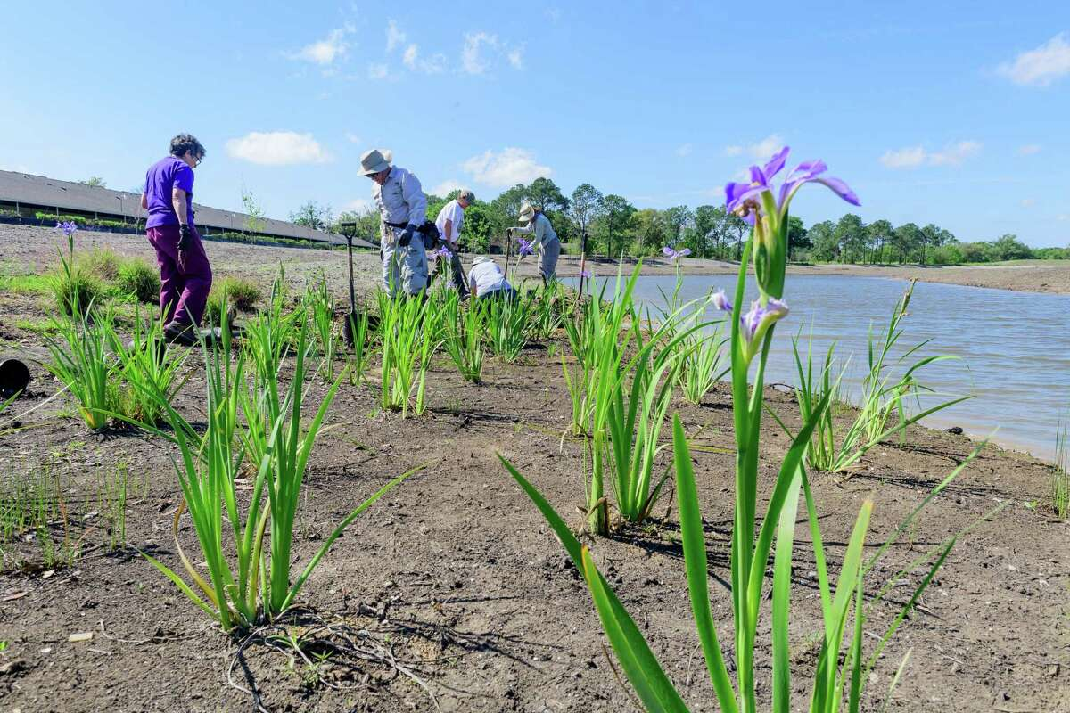 Volunteers plant irises in 2017 at the Exploration Green Conservancys Phase 1 of Clear Lakes Exploration Green.