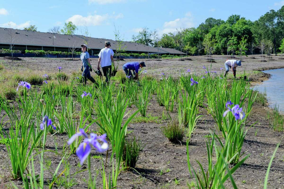 Volunteers plant irises in 2017 at the Exploration Green Conservancys Phase 1 of Clear Lakes Exploration Green, a conversion of the old golf course into a park/wetland/flood control area.
