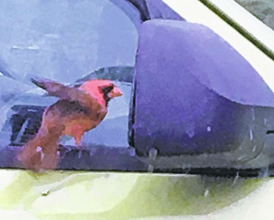 A cardinal checks out its reflection in the mirror of a car.