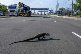 A monitor lizard crosses a highway leading to Hambantota Port, operated by China Merchants Group, in Hambantota, Sri Lanka, on March 28, 2018.