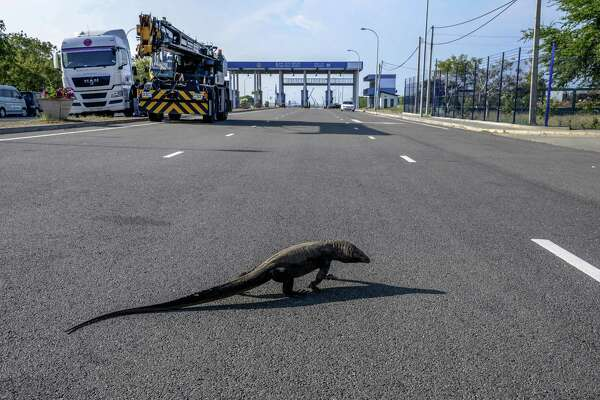 A monitor lizard crosses a highway leading to Hambantota Port, operated by China Merchants Group, in Hambantota, Sri Lanka, on March 28, 2018.