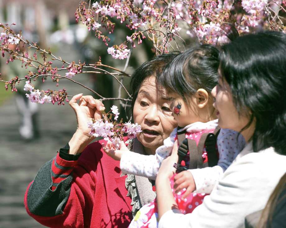 Aya Mejica (center), 1/1/2, of Forest Hills, New York, inspects the cherry blossoms on a tree in Wooster Square Park with her grandmother, Shizue Yamaguchi (left), and mother, Satoko Mejica (right), during the 45th annual Cherry Blossom Festival in New Haven on April 22, 2018. Photo: Arnold Gold / Hearst Connecticut Media / New Haven Register