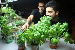 Nikhil Arora (left) and Alejandro Velez, cofounders of Back to the Roots, check fresh basil growing out of a can at their office near Jack London Square in Oakland, Calif. on Friday, June 5, 2015. The entrepreneurs started their business with a mushroom kit that grows out of a box and have expanded to include a new cereal and an herb growing kit in a can.