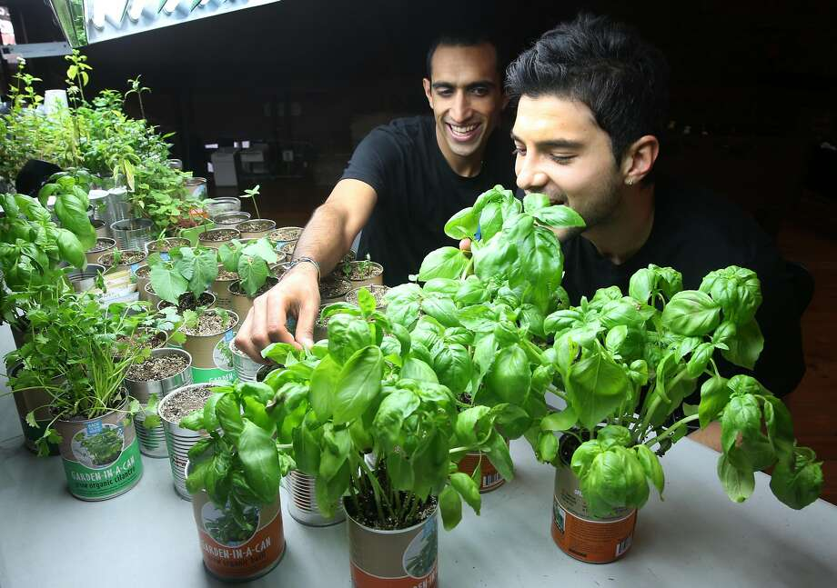 Nikhil Arora (left) and Alejandro Velez, cofounders of Back to the Roots, check fresh basil growing out of a can at their office near Jack London Square in Oakland, Calif. on Friday, June 5, 2015. The entrepreneurs started their business with a mushroom kit that grows out of a box and have expanded to include a new cereal and an herb growing kit in a can. Photo: Paul Chinn / The Chronicle