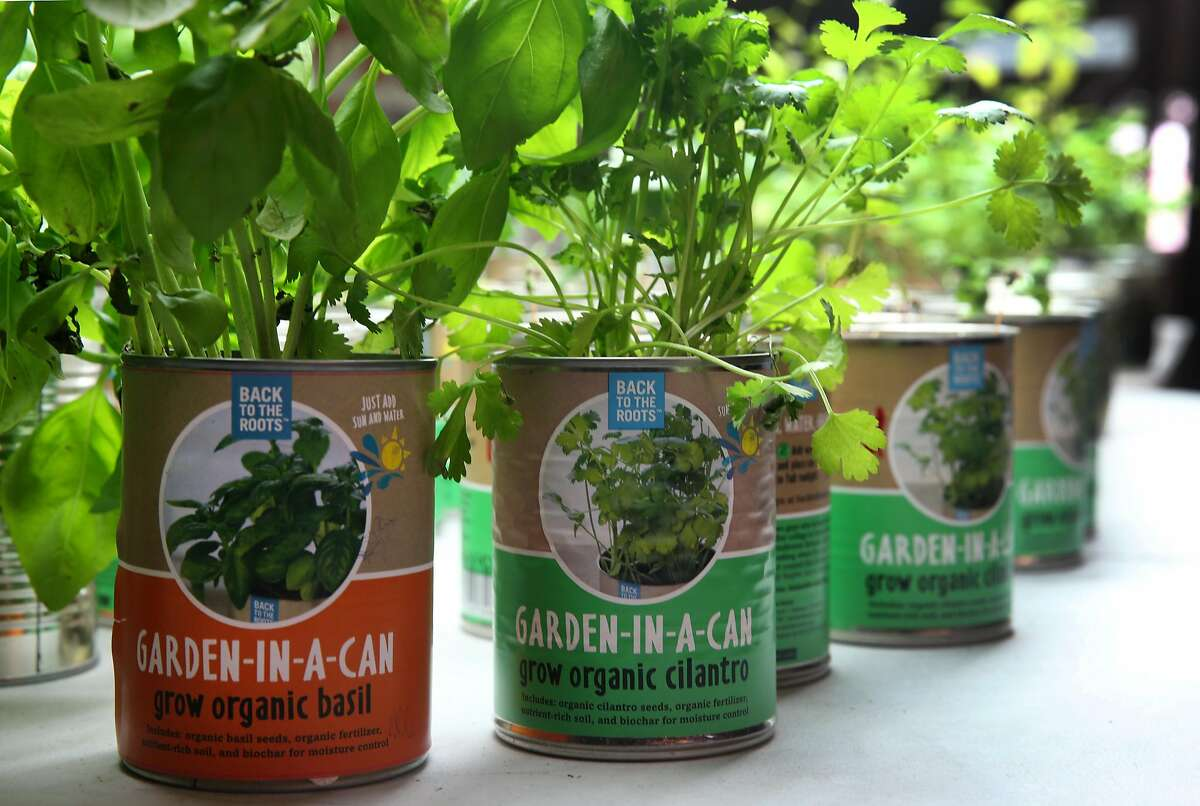 Basil and cilantro grow out of a can in Oakland, Calif. on Friday, June 5, 2015. Nikhil Arora and Alejandro Velez, cofounders of Back to the Roots, started their business with a mushroom kit that grows out of a box and have expanded to include a new cereal and an herb growing kit in a can.