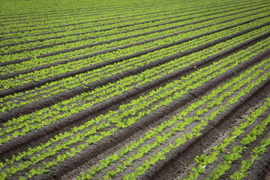 A romaine lettuce field is visible in 2016 near San Luis, Ariz. At least 53 people have been sickened by tainted, chopped romaine lettuce in an expanding E. coli outbreak that now spans 16 states, the Centers for Disease Control and Prevention said on April 18. The contaminated greens have been traced to Yuma, Ariz., but investigators recommended abundant caution because they have not yet identified a specific source. (Caitlin OHara/The New York Times) Photo: CAITLIN O'HARA, STR / NYT / NYTNS