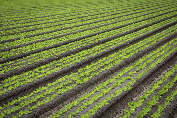 A romaine lettuce field is visible in 2016 near San Luis, Ariz. At least 53 people have been sickened by tainted, chopped romaine lettuce in an expanding E. coli outbreak that now spans 16 states, the Centers for Disease Control and Prevention said on April 18. The contaminated greens have been traced to Yuma, Ariz., but investigators recommended abundant caution because they have not yet identified a specific source. (Caitlin OHara/The New York Times)